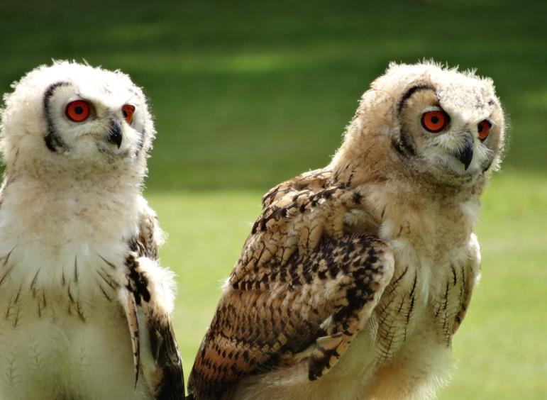 Drie uilskuikens van 14 weken (hier Julia en Joop) sloten de roofvogeldemonstratie af.